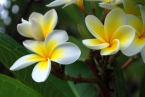 en.wikipedia.org/wiki/File:Frangipani_flowers.jpg
